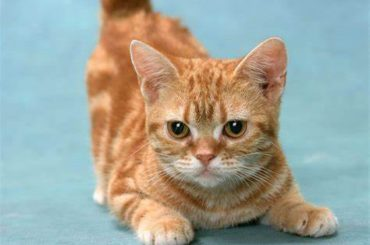 Things You Need To Know About The Munchkin Cat